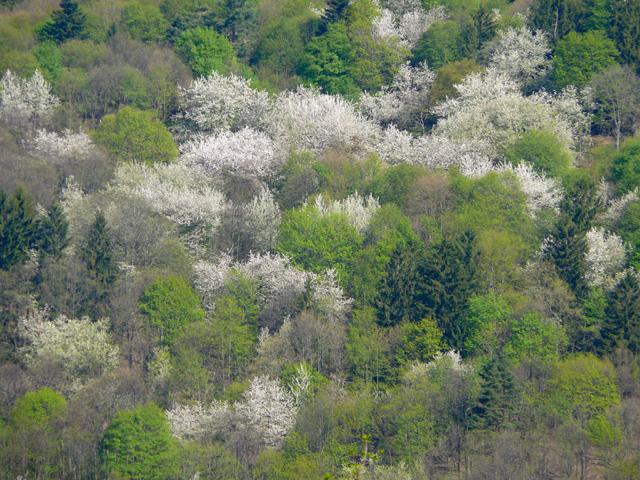 Couleurs printanières. Massif de l'Ungersberg. Bas-Rhin. Avril 2009.