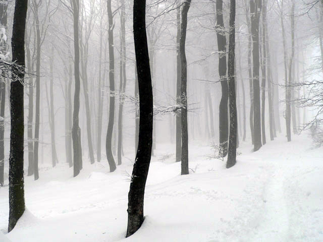 Neige, arbres et brouillard. Massif du Champ du Feu. Bas-Rhin. Mars 2007.